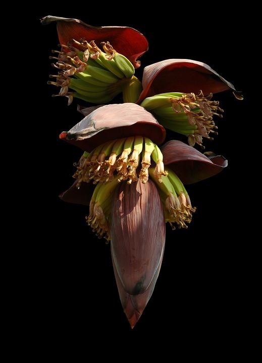 bananenplant bloem - banana flower