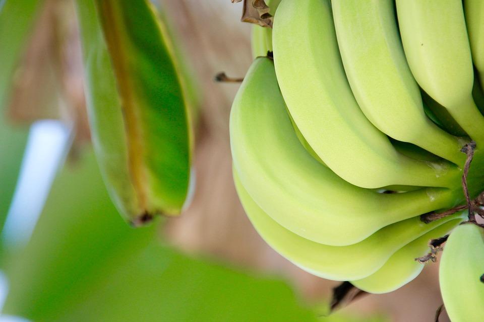 bananenplant met bananen
